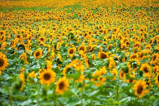 Summer, Sun, Field, Landscapes, Fields