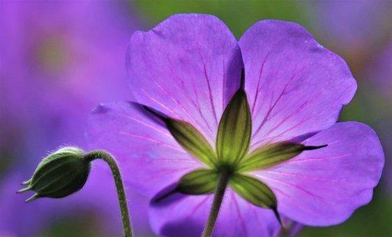 Purple, Light, In The Morning, Wild Flowers, Cranesbill