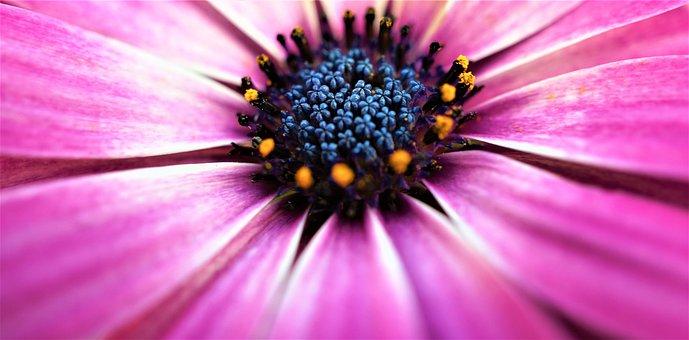 Marguerite, Pink, Pollen, Pollen Dust, Petals, Bloom