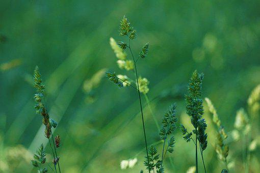 Grasses, Meadow, Flower Meadow, Field