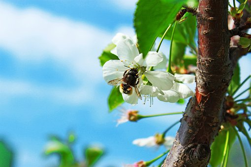 Bee, Tree, Spring, Bloom, Insect, Nectar, Sun, Honeybee