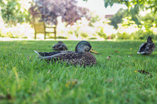 Duck, Mallard, Park, Green, Grass, Nature, Garden