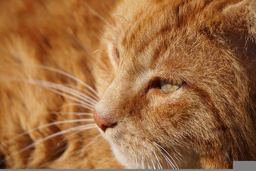 Cat, Red, Domestic Cat, Pet, Animal