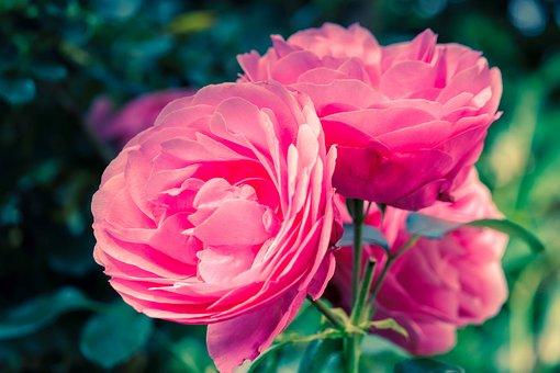 Roses, Rose Bloom, Pink, Flower, Blossom