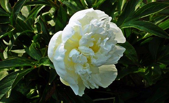 Peony, Flower, White, Plant, Garden, Summer, Macro