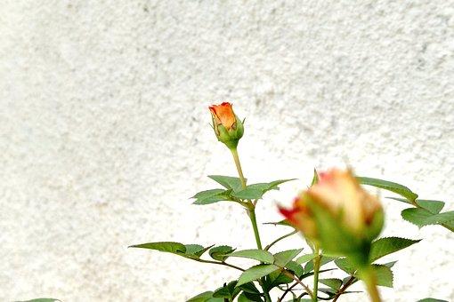 Flower, Plant, Flowers, Nature, Garden, Spring, Roses