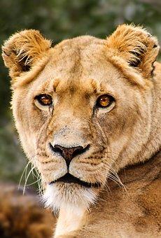 Lioness, Cat, Lion, Predator, Africa, Animal, Female