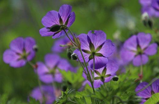 Cranesbill, Meadow, The Petals, Purple Flowers, Garden