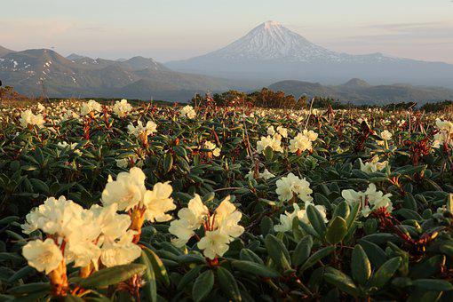 Rhododendrons, Flowers, Spring, Bloom