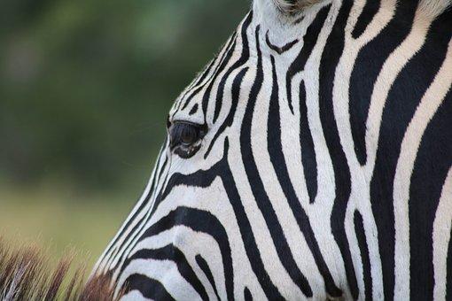 Zebra, Safari, Africa, Wildlife, Animal