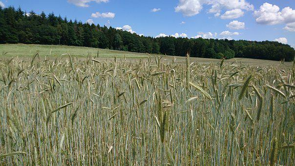 Field, Grain, Harvest, Summer, Blue, Sky