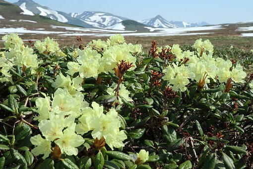Rhododendrons, Flowers, Spring, Bloom, Mountains