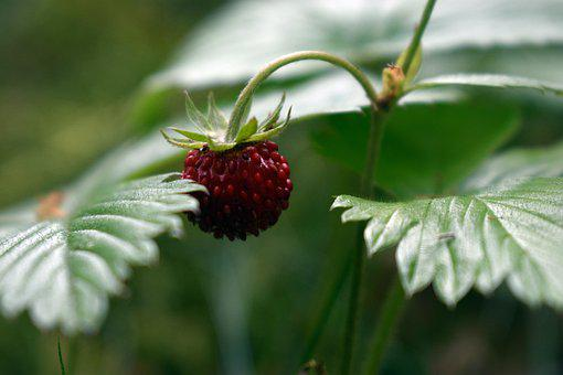 Strawberries, Fragaria Vesca, Nature, Forest, Red