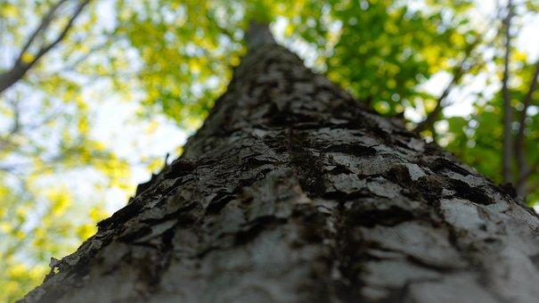 Big Trees, Bark, Sunshine, Sun, Blue Sky