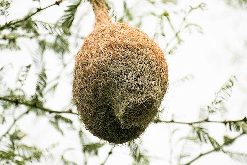 Nest, Tailor Bird, Wild, Wildlife