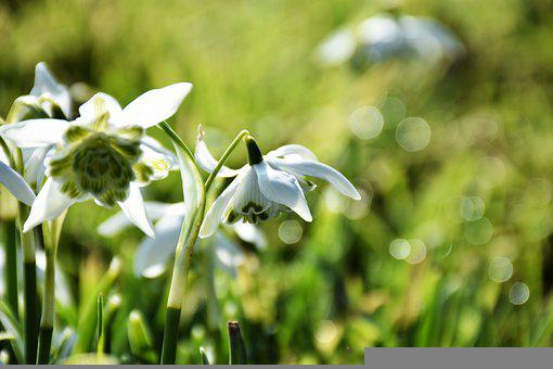 Snowdrop, Galanthus, Bulb, Flower, Spring, White