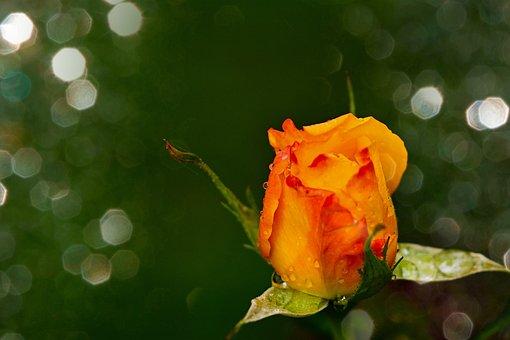 Rose, Floribunda, Yellow, Blossom, Bloom, Rose Bloom