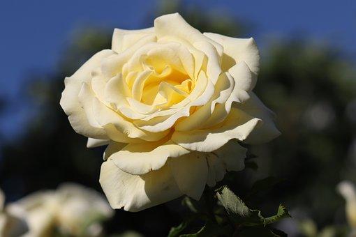 Flower, Petal, Plant, Bloom, Rose, Yellow, Nature