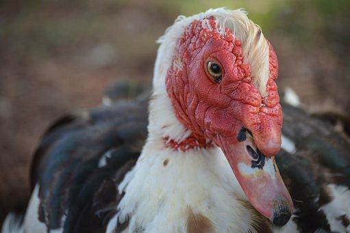 Muscovy, Duck, Bird, Animal, Wildlife, Nature, Red