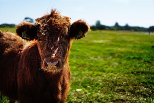 Bull, Calf, Heifer, Ko, Cow, Heifers, Curious