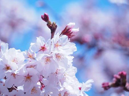 Cherry Blossoms, Flowers, Spring Flowers