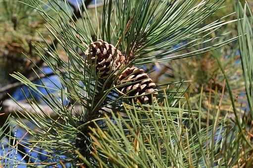 Pine Cones, Tree, Needles, Pine, Cone, Brown, Xmas