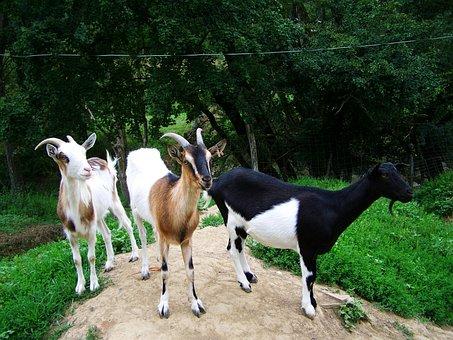 Goats, Domestic Animals, Benefit Animals