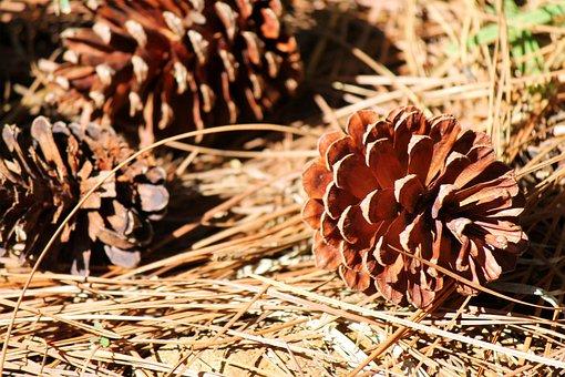 Cone, Pinecone, Seed, Fallen, Dried, Conifer