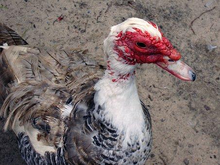 Duck, Muscovy Duck, Cairina Moschata, Muscovy, Cairina