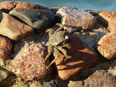 Crab, Wall, Stone, Red Sea, Egypt