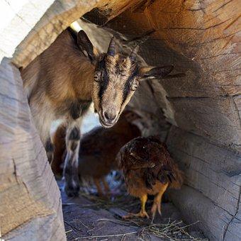 Goat, Chick, Pet, Hen, Skrývačka, Hidden, Curious, Hide