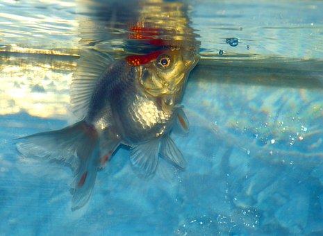 Ryukin, Goldfish, Fish, White, Aquarium, Aquatic