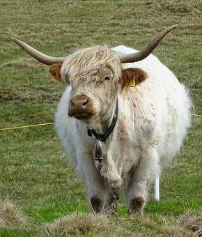 Highland Beef, Bull, Graze
