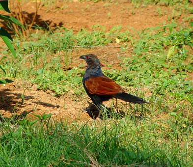 Crow Pheasant, Greater Coucal, Bird, Pheasant, Species