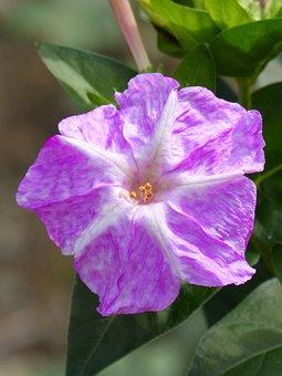 Flower, Detail, Pistil, John's Night, Pollen