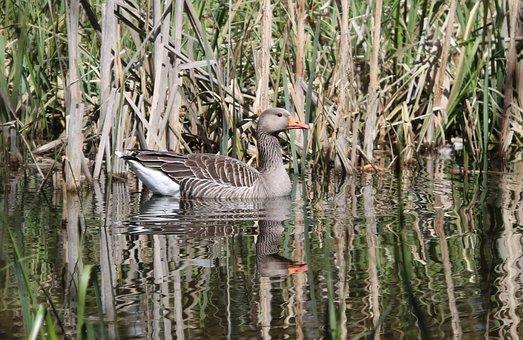 Goose, Water, Pond, Bird, Nature, Wildlife, Lake