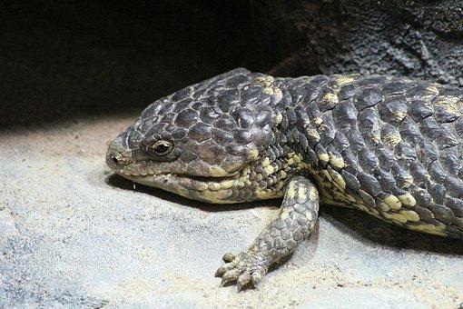 Lizard, Reptile, Pinecone Lizard, Tiliqua Rugosa