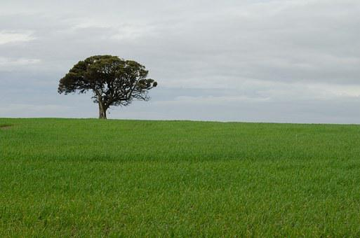 Tree, Alone, Lonely Wheat, Green What, Field, Landscape