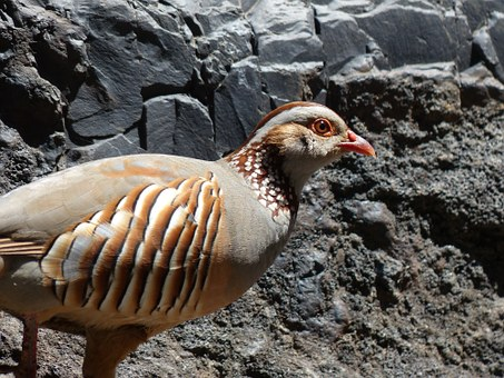 Rock Chicken, Bird, Chicken, Alectoris Barbara, Species