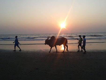 Bull, Sunset, The Coast, Light, Beach, The Sun, Sea