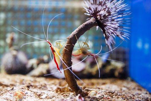 Northern, Cleaner, Shrimp, Scarlet, Skunk, Aquarium
