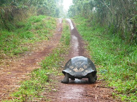 Towards, Turtle, Solitude, Path, Giant Tortoise