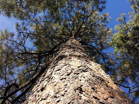 Pine Tree, Ponderosa Pine, Tree, Ponderosa, Pinecone