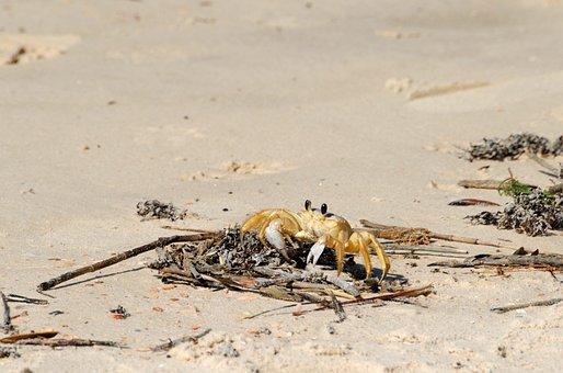 Sand Crab, Beach, Wildlife, Nature, Crab, Water, Coast