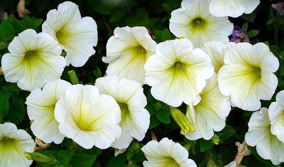Petunia, Flowers, Blossom, Bloom, Nature