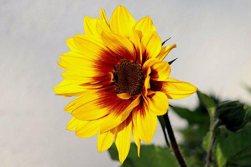 Sunflower, Blossom, Bloom, Summer