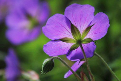The Petals, Delicate, Blur, Cranesbill