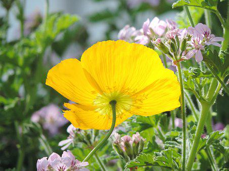 Yellow Poppy, Flower, Bright, Bloom