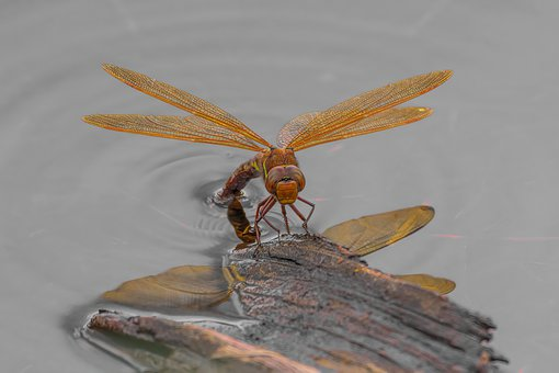 Dragonfly, Bug, Insects, Wings, Nature