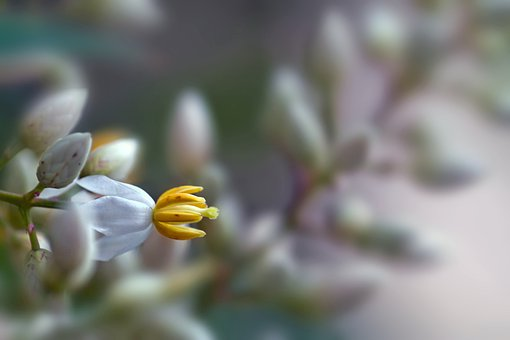 Flower, Flower Nandina, Bamboo Sacred, Macro